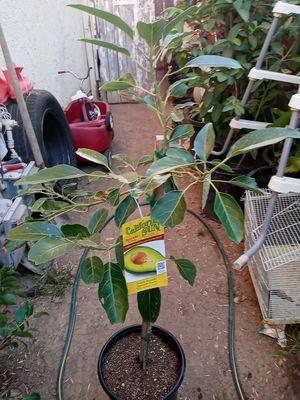 Arbol de aguacate fuerte for Sale in Riverside, CA