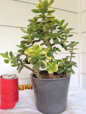 Tricolor Jade Succulent Plants in Gray Ceramic Planter Pot- Real Indoor House Plant for Sale in Auburn, WA