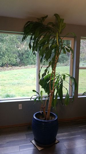 "Beautiful Dracaena ""Corn"" Plant for Sale in Graham, WA"