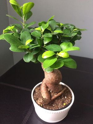 Bonsai Tree Ginseng Live Plant for Sale in River Grove, IL