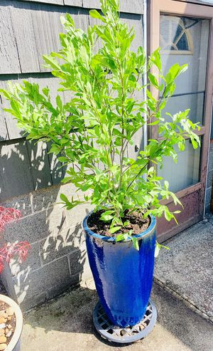 Live outdoor Royal Star Magnolia tree plant in a ceramic planter flower pot—firm price for Sale in Seattle, WA