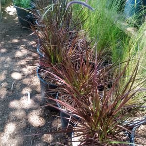 Red fountain grass and Mexican feather grass for Sale in Parlier, CA