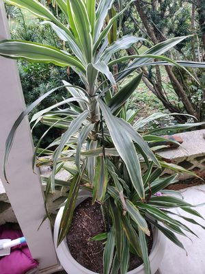 To very large house or outdoor potted plants for Sale in Bensalem, PA