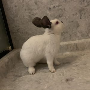 2 Rabbits To Good Homes for Sale in Livermore, CA