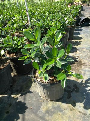 Clusia gren Aislan bromelias etc for Sale in West Palm Beach, FL