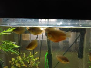 FISH TANK THICKLIP GOURAMI for Sale in Phoenix, AZ