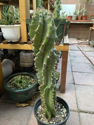 "1 cereus forbesii spiral cactus 17"" tall, $118.00 for Sale in Stanton, CA"
