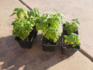 Sweet italian live basil plants non gmo fresh herb live for Sale in Fontana, CA