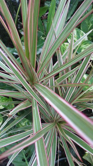 Dreceana marginata Tricolor for Sale in Fort Lauderdale, FL