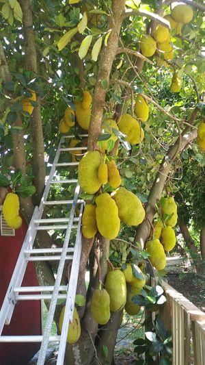 Jackfruit! for Sale in Saint Petersburg, FL