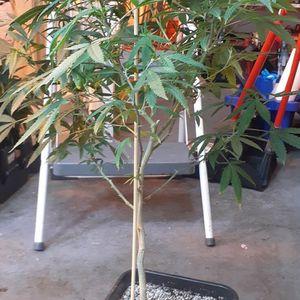 Full Grown Indoor Plants for Sale in Detroit, MI