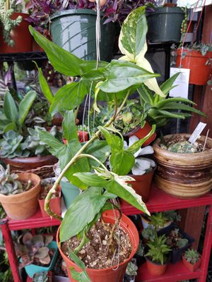 Large Rare Variegated Syngonium Plant for Sale in Riverside, CA