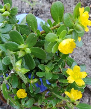 Pursalene plants. $2 each. Can grow inside or outside, can be used like ground cover plants for Sale in Boca Raton, FL