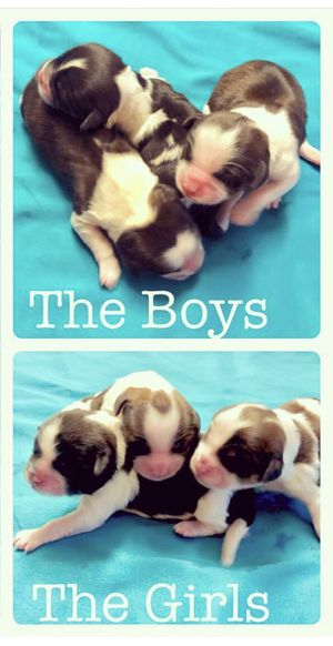 Shipoo Puppies for Sale in Aspen Hill, MD