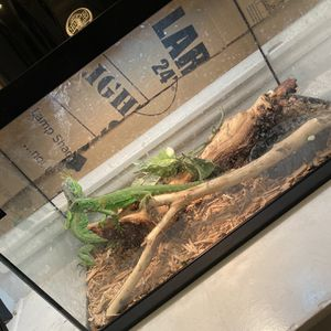 Iguanas And Tank for Sale in Garden Grove, CA