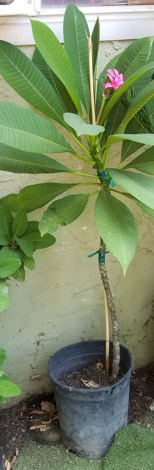 Plant plumeria for Sale in Irwindale, CA