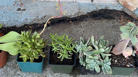 6 Plants Bundle for Sale in El Cerrito,  CA
