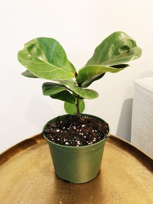 Fiddle leaf fig tree plant for Sale in Vancouver, WA