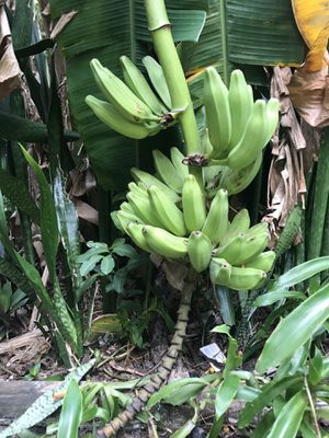 Plantains for Sale in Palm Harbor, FL