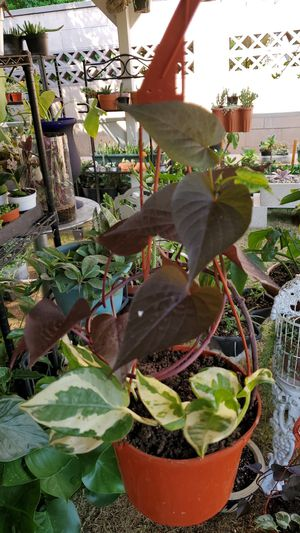 Hunging plants for Sale in Riverside, CA