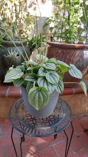 """Peperomia Plant """"Frost"""" for Sale in Westminster, CA"""