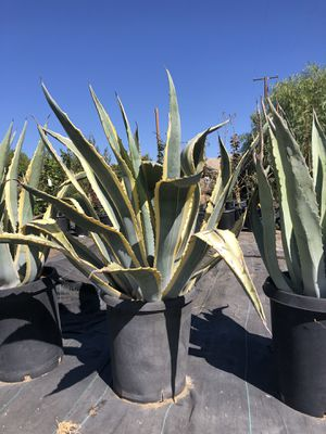 Agave americana 15 galones for Sale in Perris, CA