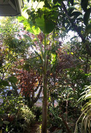 Banana 🍌 Tree for Sale in Fresno, CA