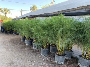 Pygmy date palm Phoenix Roubullini 5ft in height outdoor landscaping decorative palm trees 🌴 for Sale in Phoenix, AZ