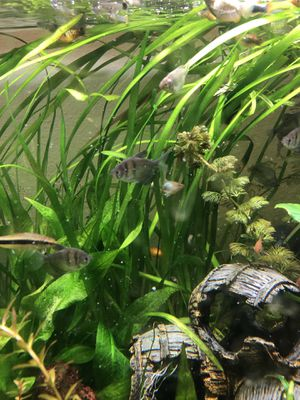 Jungle Val live aquarium plant for Sale in Mukilteo, WA