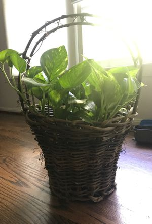 Plant with basket for Sale in Arlington, VA