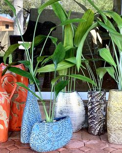 Japanese Lucky Bamboo Plants 🪴 for Sale in Hialeah,  FL
