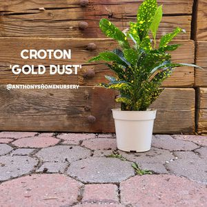 Croton 'Gold Dust' Indoor Plant for Sale in San Jacinto, CA