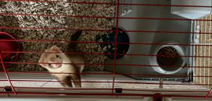 Ferret and cage! for Sale in Fayetteville, GA