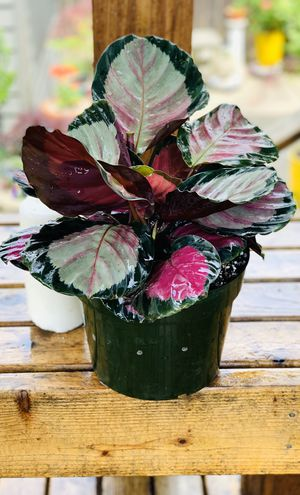 Live indoor 8 inch Calathea Rosy Roseopicta house plant in a plastic temporary planter pot—firm price for Sale in Renton, WA