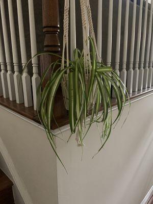Spider plant for Sale in Falls Church, VA