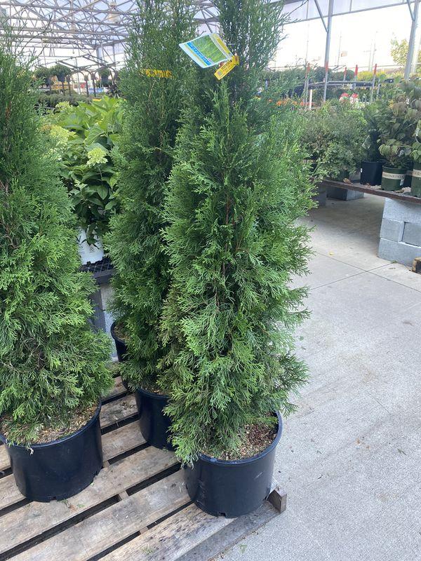 Evergreens 🌲