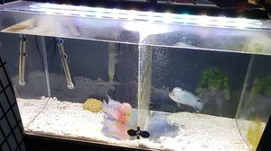 Acrylic aquarium 50 g with filter and led and stand.. fish at extra .. 2 male good Quality flowerhorn .one srd & 1 Thai blue .. for Sale in Queens, NY