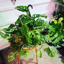 Philodendron Swiss cheese Plant for Sale in Vancouver,  WA