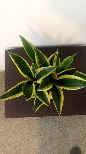 Snake plant for Sale in Austin, TX