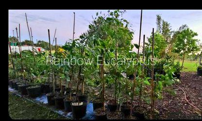 6 feet tall rainbow eucalyptus trees for Sale in Bartow,  FL