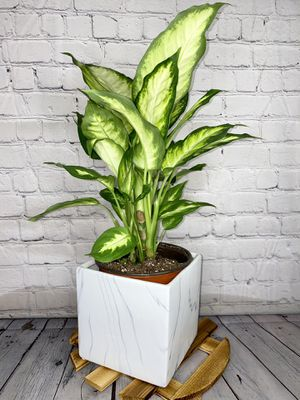 """14"""" Tall Dieffenbachia """"Camille"""" in 8"""" White Marble Ceramic Pot for Sale in Los Angeles, CA"""