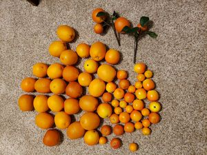 Large Grouping of Faux Oranges for Sale in Gilbert, AZ