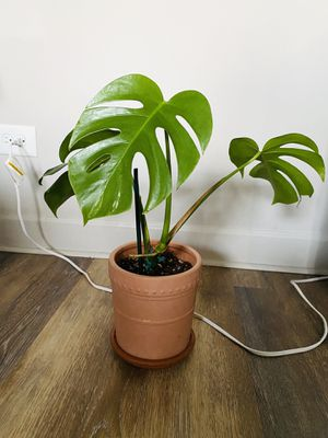 Reverted Variegated Monstera Plant for Sale in Brookfield, IL