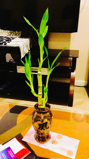 """Lucky bamboo real live Indoor Houseplant ceramic pot 16"""" tall (combine shipping ok 3 or more items) for Sale in Garden Grove, CA"""