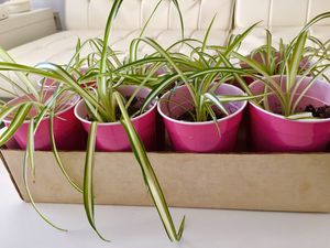 Baby spider plants for Sale in Richland Hills, TX