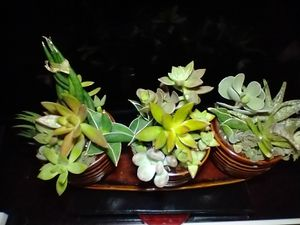 Assorted succulents for Sale in McDonough, GA