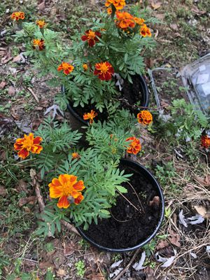 Marigold Plants need a new home for Sale in Atlanta, GA