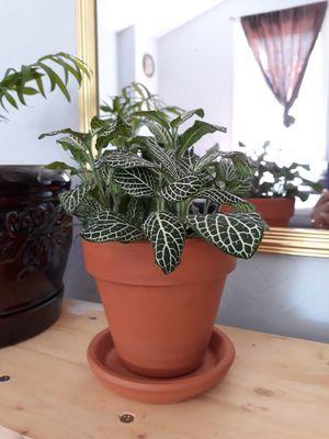 Nerve Plant (Fittonia argyroneura) for Sale in Salt Lake City, UT