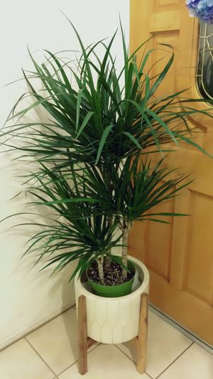Big 🌱Tall🌱Healthy 🌱and Beautiful Dracaena Marginata Plant - About 4 feet tall - $30 each plant only - Outdoor/Indoor Plant - Base not included ( Hawa for Sale in Garden Grove, CA