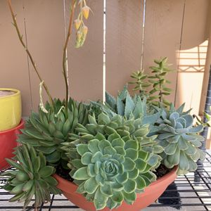 Large Potted Succulents for Sale in Huntington Beach, CA